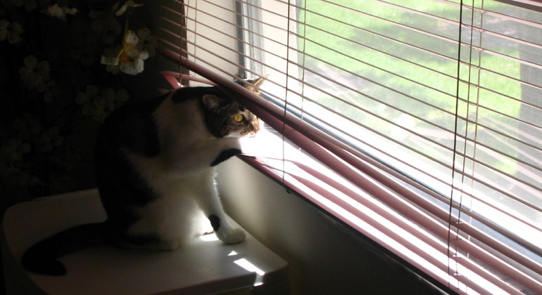 Cat looking through aluminum blinds in Fort Myers.
