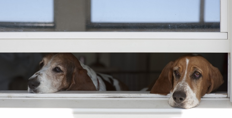 Beagles look out open window with no window covering in Fort Myers.